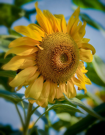 Sunflower in the late Morning